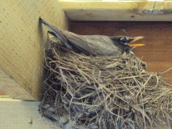 Mother Robin sitting on nest