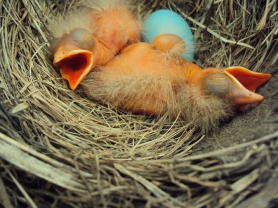 2 baby robins and one unhatched egg