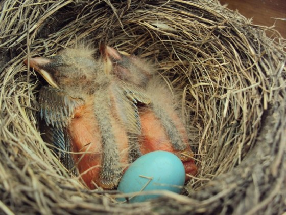 2 baby robins with feathers developing