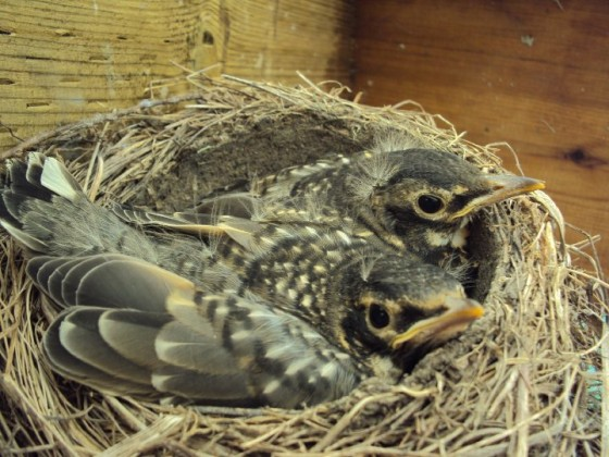 robin fledglings ready to leave nest