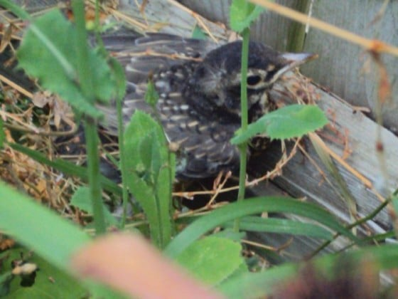 robin fledgling leaving nest