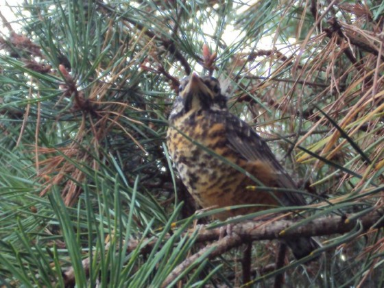 fledgling robin in pine tree