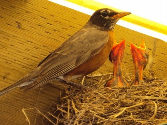 Mother Robin and 2 baby robins in nest