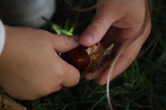 preschooler pulling chestnut out of shell
