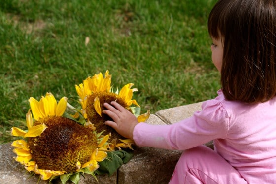 toddler examining sunflowers