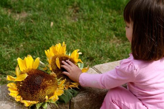 toddler examining sunflowers