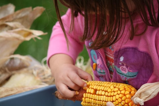 child removing kernels from cob of corn