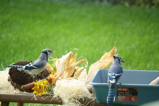 bluejays eating corn kernels