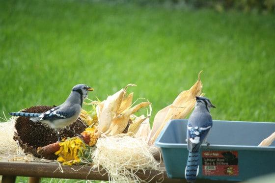 bluejays eating corn kernels