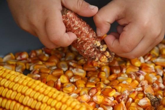 picking kernel off cob