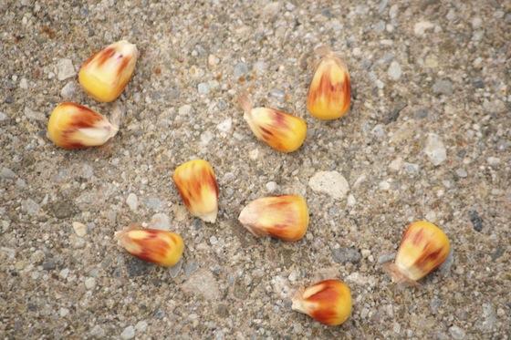 kernels of real corn look like kernel corn