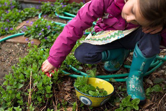 child picking mint from garden